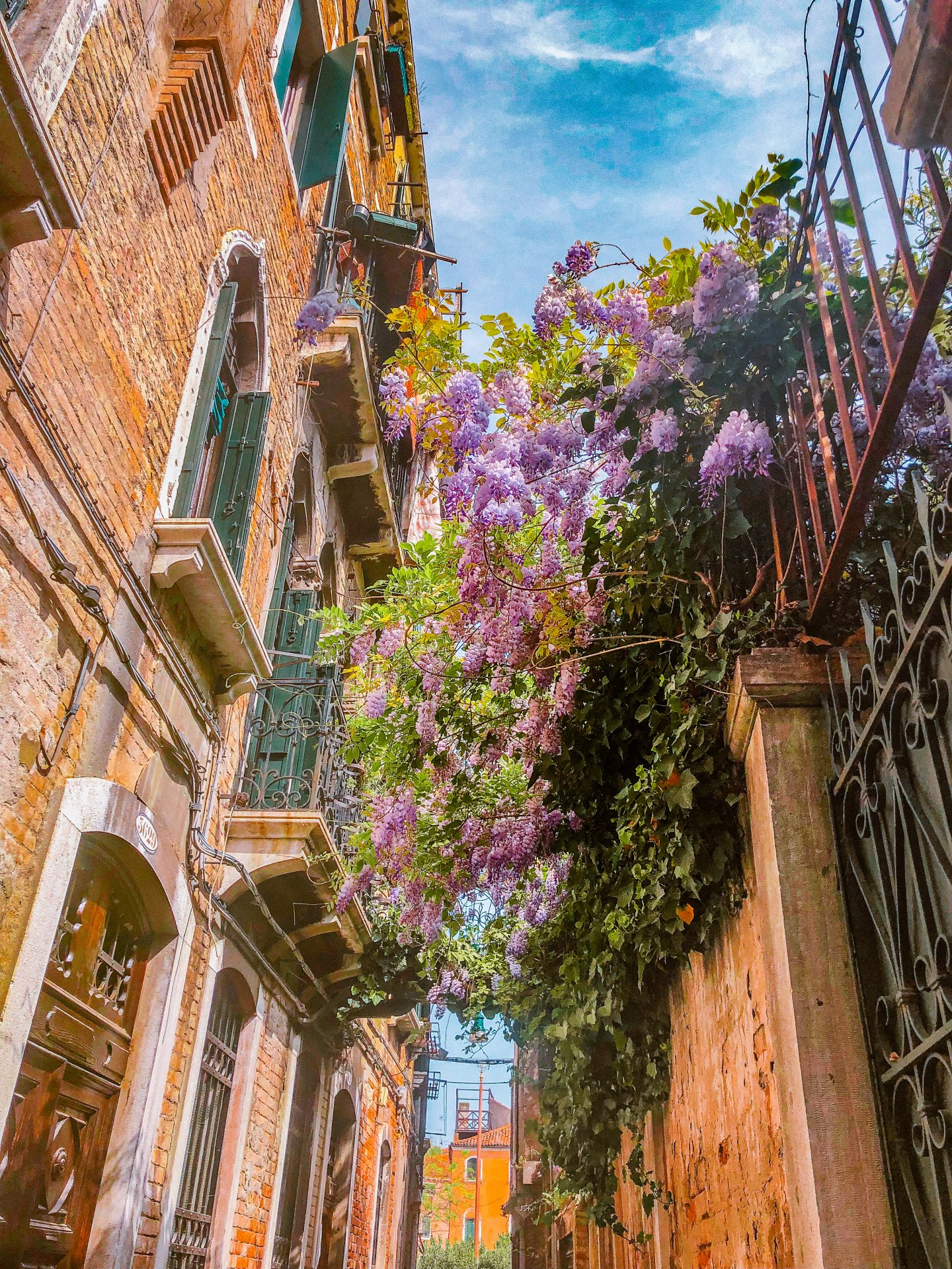 Wisteria flowers blooming and hanging over a walkway in Venice, Italy